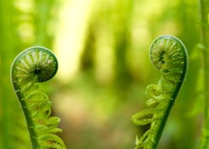 cvet-paporotnika